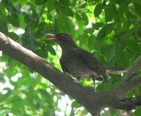 Image of: Margarops fuscatus (pearly-eyed thrasher)