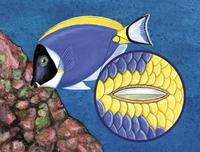 Image of: Acanthurus leucosternon, Acanthuridae (surgeonfishes and tangs)