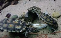 Image of: Graptemys flavimaculata (sawback turtle)