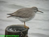 Grey-tailed Tattler - Heteroscelus brevipes