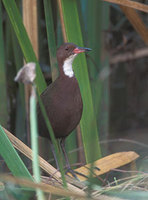 White-throated (Cuvier's) Rail (Dryolimnas cuvieri) photo