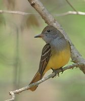 Great Crested Flycatcher (Myiarchus crinitus) photo