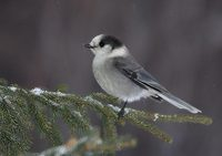 Gray Jay (Perisoreus canadensis) photo