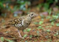 Scaly (White's) Thrush (Zoothera dauma) photo