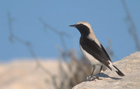 Finsch's Wheatear (Oenanthe finschii) photo