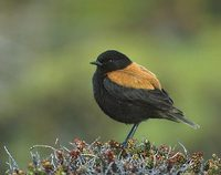 Austral Negrito (Lessonia rufa) photo