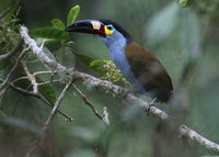 Plate-billed Mountain-Toucan - Andigena laminirostris
