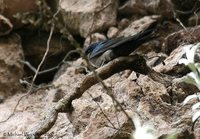 Brown-bellied Swallow - Notiochelidon murina