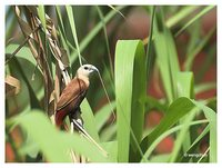 White-headed Munia - Lonchura maja