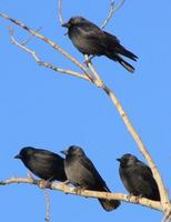 Daurian Jackdaws, first-winter plumage.