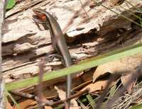: Acritoscincus platynotum; Red-throated Skink