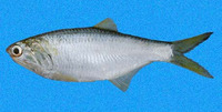 Anchovia macrolepidota, Bigscale anchovy: fisheries, bait