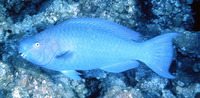 Scarus coeruleus, Blue parrotfish: fisheries, aquarium