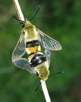 Hemaris tityus - Narrow-bordered Bee Hawk-moth