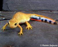 Cynops cyanurus - Blue-tailed Fire-bellied Newt