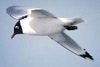 Image of: Larus pipixcan (Franklin's gull)