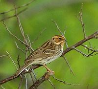 Little Bunting (Emberiza pusilla) photo