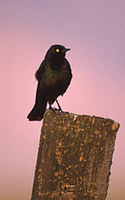 Brewer's Blackbird (Euphagus cyanocephalus) photo