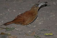 Great Rufous Woodcreeper - Xiphocolaptes major