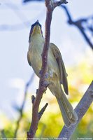 Purple-gaped Honeyeater - Lichenostomus cratitius