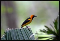 Orange-crowned Oriole - Icterus auricapillus