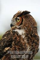 ...Vertical image of a Great Horned Owl ( Bbo virginianus ) taken at Largo Central Park Nature Pres