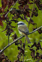 : Lanius cristatus; Brown Shrike