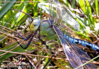 : Anax imperator; Emperor Dragonfly