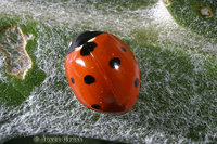 : Coccinella septempunctata; Seven-spotted Lady Beetle
