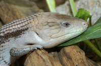 : Tiliqua scincoides intermedia; Northern Blue Tongue Skink