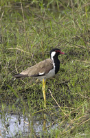 Vanellus indicus   Red-Wattled Lapwing photo