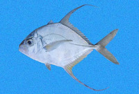 Carangoides otrynter, Threadfin jack: fisheries, gamefish