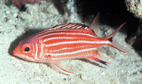 Sargocentron cornutum, Threespot squirrelfish: