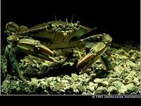 Image of: Callinectes sapidus (blue crab)