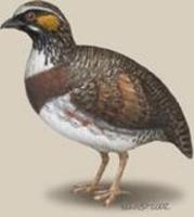 Image of: Arborophila rufipectus (Sichuan partridge)