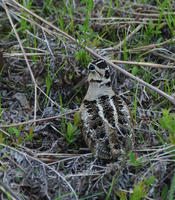 Image of: Scolopax minor (American woodcock)