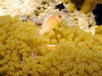 Image of: Amphiprion perideraion (false skunkstriped anemonefish)