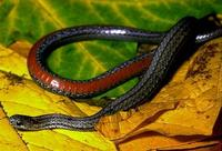 Image of: Storeria occipitomaculata (red-bellied snake)