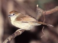 Grey-faced Tit Babbler - Macronous kelleyi