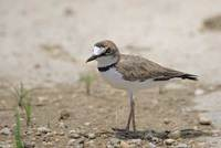 Collared Plover (Charadrius collaris) photo