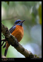 Blue-capped Rock-Thrush - Monticola cinclorhynchus