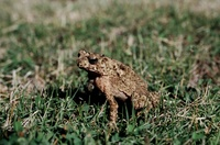 : Bufo biporcatus; Philippine Toad