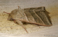 : Heliothis virescens; Tobacco Budworm Moth