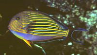 Acanthurus lineatus, Lined surgeonfish: fisheries, aquarium