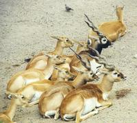 Image of: Antilope cervicapra (blackbuck)