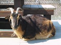 Image of: Capra hircus (domestic goat)