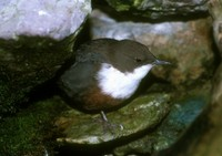 Cinclus cinclus - White-throated Dipper
