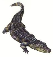 Image of: Alligator sinensis (Chinese alligator)