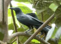 Slender-billed Crow - Corvus enca