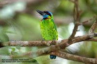 Red-crowned Barbet - Megalaima rafflesii